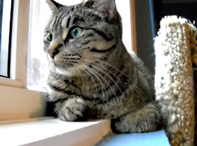 Tabby Cat looking out window