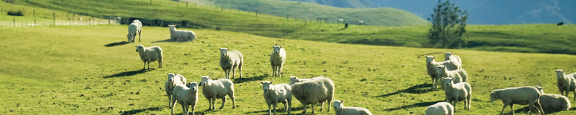 A herd of lamb in a standing in a pasture